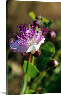 Italy, Caper plant