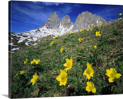 Italy, Dolomites, anemone Alpina and view towards Sassolungo (Langkofel)