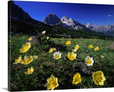Italy, Dolomites, anemone Alpina meadow and Tofane in background