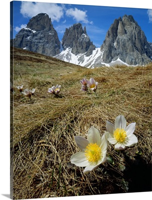 Italy, Dolomites, anemone Vernalis and view towards Sassolungo (Langkofel)