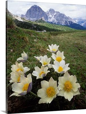 Italy, Dolomites, Passo Giau, anemone Alpina and Tofane