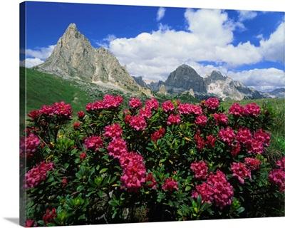 Italy, Dolomites, Passo Giau, Rhododendron and Tofane
