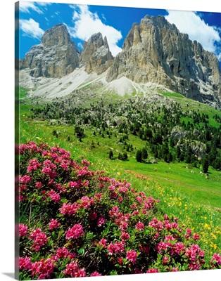 Italy, Dolomites, Rhododendron Ferrugineum and Sassolungo (Langkofel)