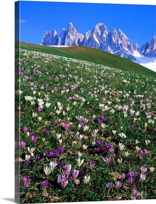 Italy, Dolomites, Val di Funes, Crocus meadow and Odle Range (Geisler Gruppe)