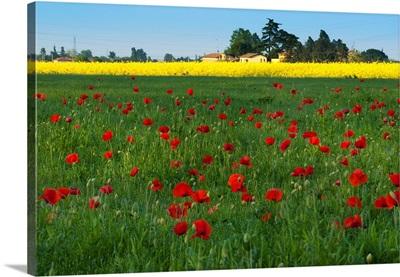 Italy, Emilia-Romagna, Flowers and poppies on a field along Via Emilia near Imola