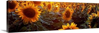 Italy, Emilia-Romagna, Sunflowers