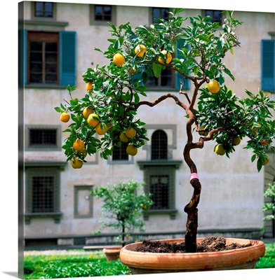Italy, Florence, Villa Medici di Castello, lemon tree