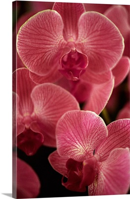 Italy, Flower, Orchid Phalenopsis