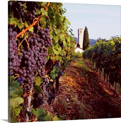 Italy, Friuli, Albana, vineyard