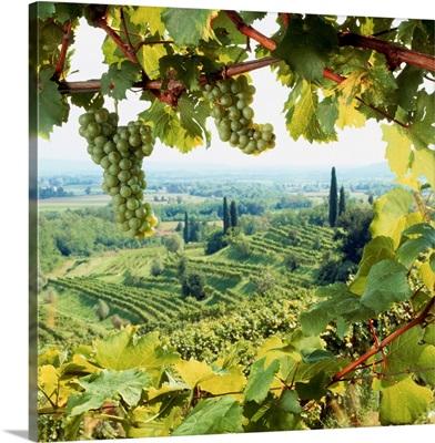 Italy, Friuli, Colli Orientali, vineyards near Corno di Rosazzo town