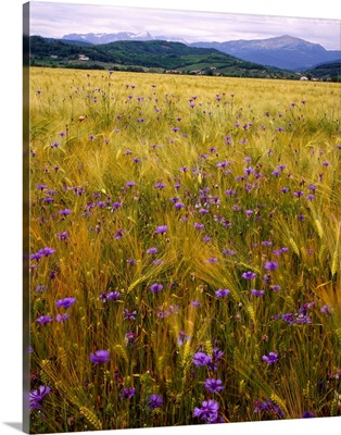 Italy, Friuli, cornfield, bluebottle