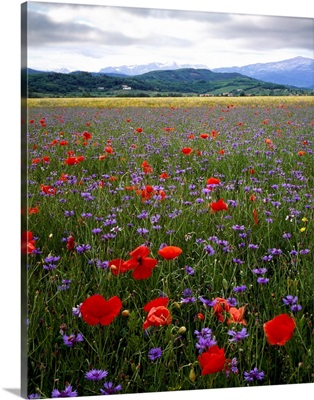 Italy, Friuli, cornfield, bluebottle, poppy