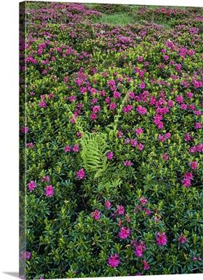 Italy, Friuli-Venezia Giulia, Dolomites, Carnia, Sauris di Sopra, Rhododendron flowers