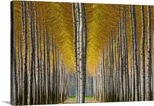 Italy, Friuli-Venezia Giulia, Poplar trees near Torviscosa town in ...