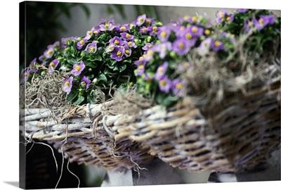 Italy, Friuli-Venezia Giulia, Rivignano, Saintpaulia violet composition