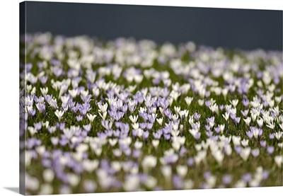 Italy, Friuli-Venezia Giulia,  Sauris di Sopra, Flowers blooming in spring