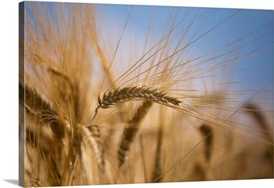 Italy, Friuli-Venezia Giulia, Udine District, Field Of Wheat At Sun In Porpetto Campaign
