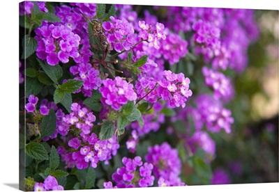 Italy, Latium, Sperlonga, flowers
