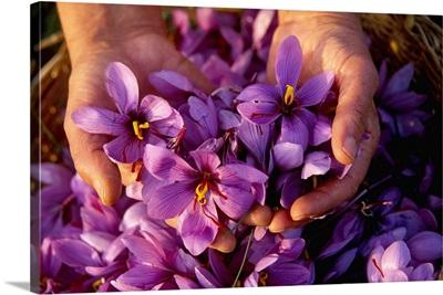 Italy, Liguria, Campiglia village, saffron flowers
