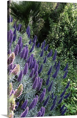 Italy, Liguria, La Mortola locality, Villa Hanbury botanical gardens, echium fastuosum