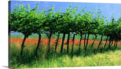 Italy, Lombardia, Brescia, Franciacorta, vine in wheat field with poppies