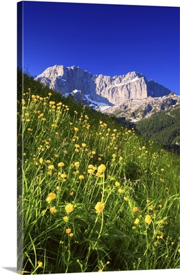 Italy, Lombardy, Alps, Scalve Valley, spring morning, globe flowers