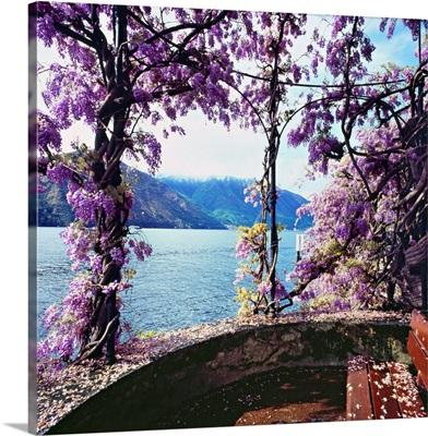 Italy, Lombardy, Como Lake, Tremezzo, Wisteria flowers on lakeside