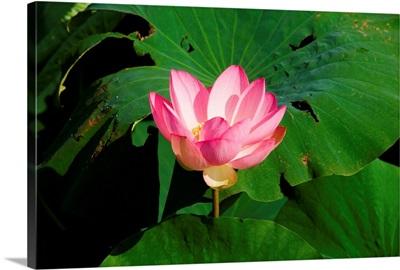 Italy, Lombardy, Mantua, Lago Superiore, lotus flower