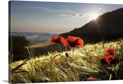 Italy, Marches, Mediterranean area, Fermo district, Poppy field in Monte San Martino