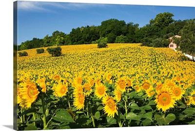 Italy, Marches, Mediterranean area, Macerata district, Sunflowers near Macerata