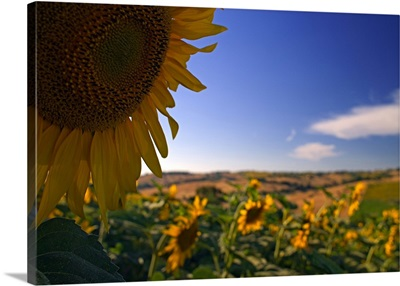 Italy, Marches, Sunflower field