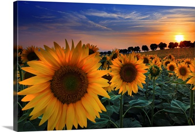 Italy, Marches, Sunflowers At Sunset In The Countryside Near Morrovalle Village