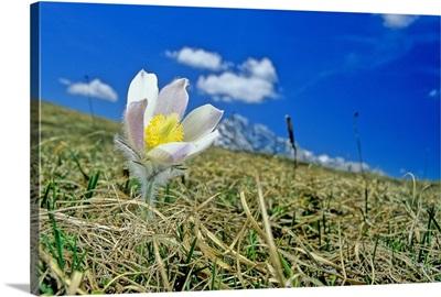 Italy, Monte Piana, Pulsatilla vernalis, Dolomites