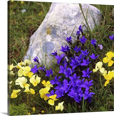 Italy, Pansy and Gentianella flowers