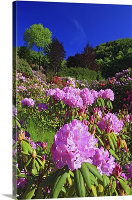 Italy, Piedmont, Alps, Biella district, Oasi Zegna, Rhododendron flowering