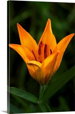Italy, Piedmont, Alps, Soana valley, Orange Lily, Fire Lily