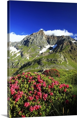 Italy, Piedmont, Alps, Valli di Lanzo, Val d'Ala, rhododendron flowering