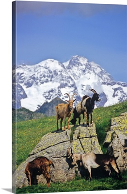 Italy, Piedmont, Monte Rosa, Alpe Pizzo, goats and Monte Rosa in background
