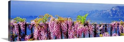 Italy, Positano, View of rugged coastline of Amalfi Coast with wisteria flowers