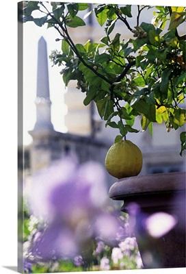 Italy, Rome, Villa Borghese, Lemon tree (citrus medica grandis)