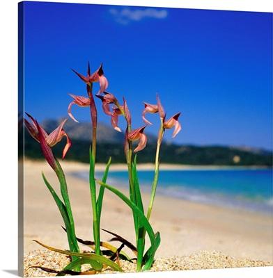 Italy, Sardinia, Costa Smeralda, Liscia Ruja beach, orchid