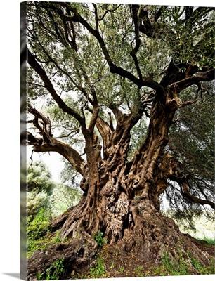 Italy, Sardinia, Luras, Santo Baltolu di Carana, the oldest Italian olive tree