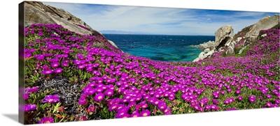 Italy, Sardinia, Santa Teresa Gallura, Carpobrotus flowers blossom