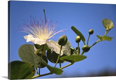 Italy, Sicily, Aeolian islands, Lipari islands, Salina, Caper flower