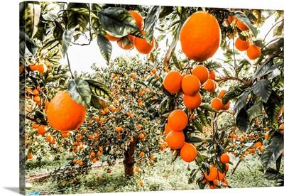 Italy, Sicily, Catania District, Orange Groves Tarocco, Area Of Ponte Barca Near Paterno