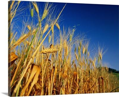 Italy, Sicily, Ears of wheat