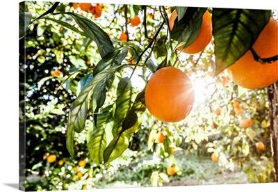Italy, Sicily, Floridia, Tarocco Oranges Harvesting