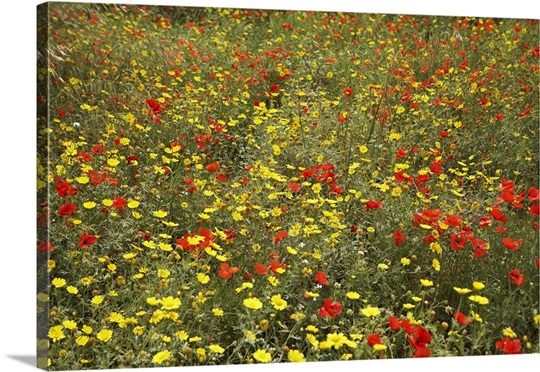 Italy, Sicily, Flowers in a meadow near Noto Wall Art, Canvas Prints ...
