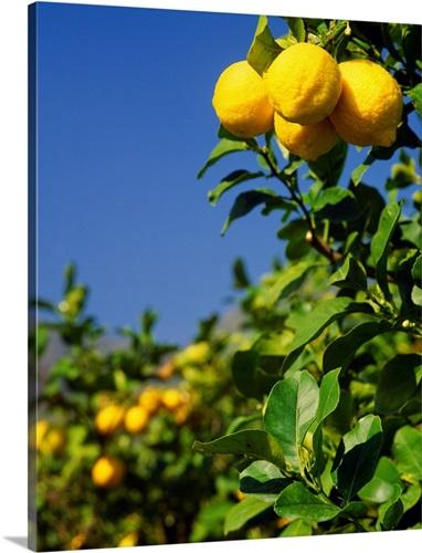 Italy, Sicily, Lemon tree Wall Art, Canvas Prints, Framed Prints ...
