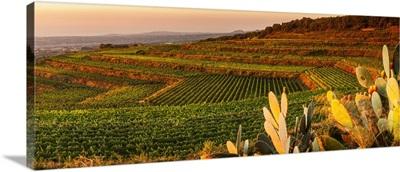 Italy, Sicily, Mount Etna, Milo, Barone di Villagrande vineyards at sunset